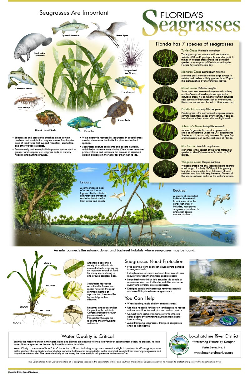 Seagrasses Poster