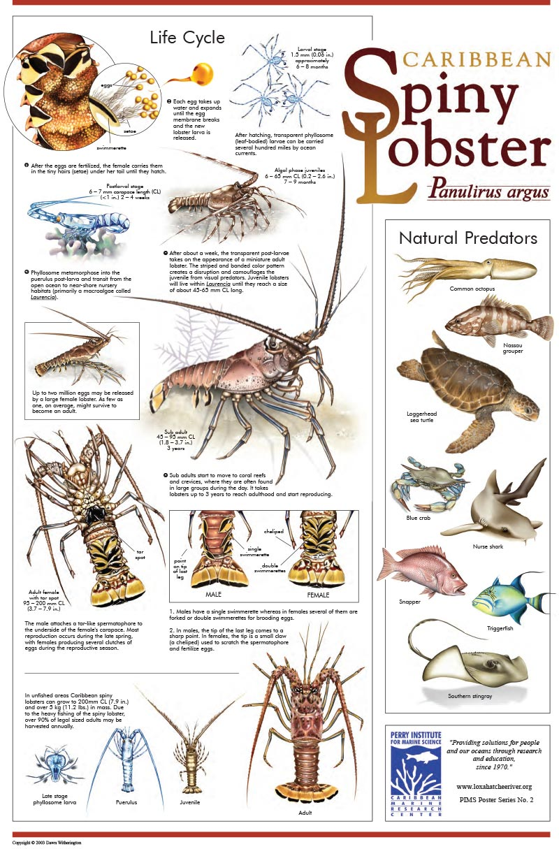 Spiny Lobster Poster
