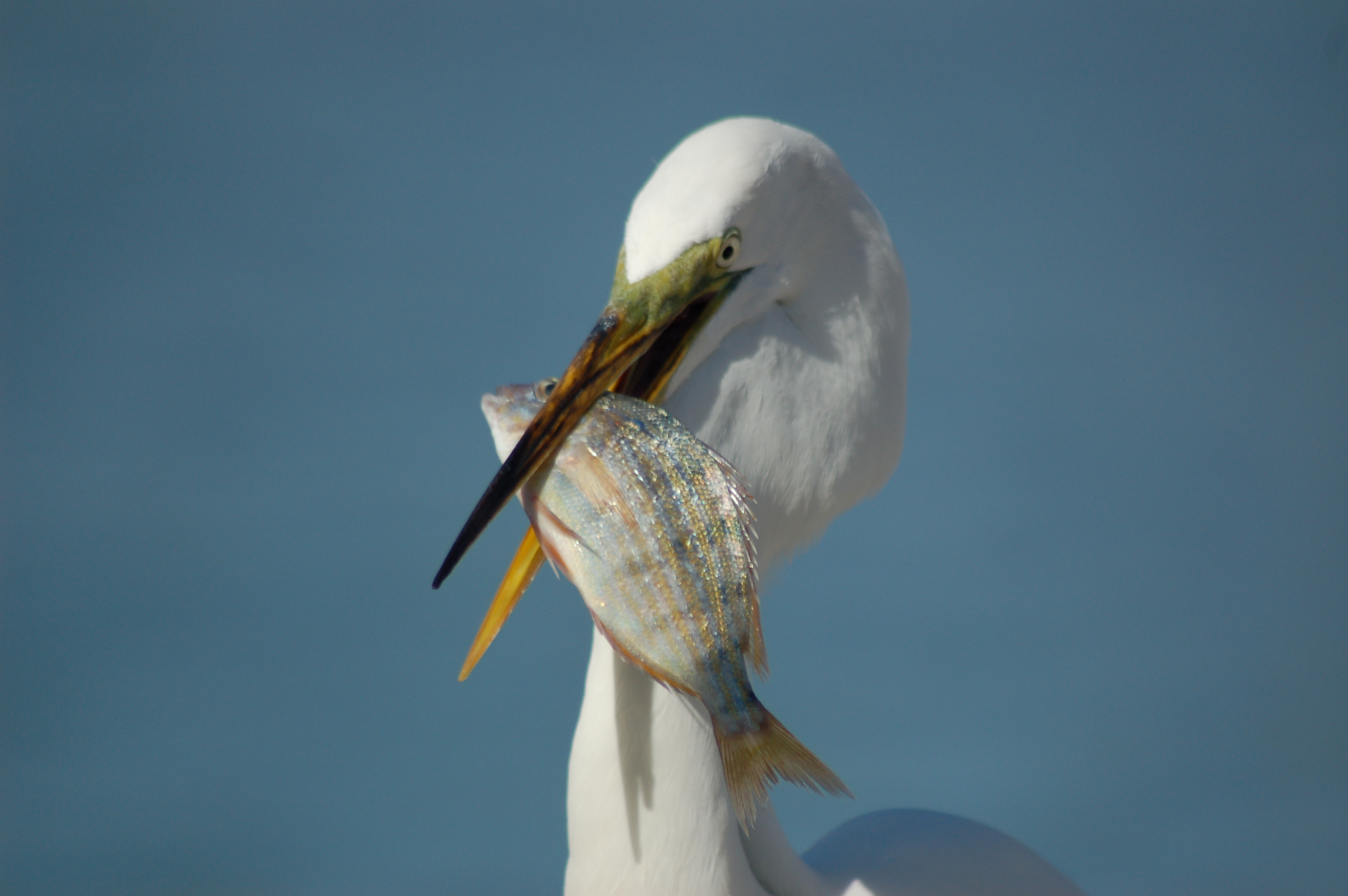 bird with fish in mouth photo