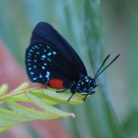 Endangered Atala Butterfly photo